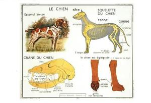 DOG-ANATOMY-POSTCARD-FRENCH-LANGUAGE-LE-CHIEN-NEW-amp-PERFECT