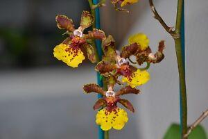 Rare-orchid-hybrid-seedling-Trichocentrum-Kuquat
