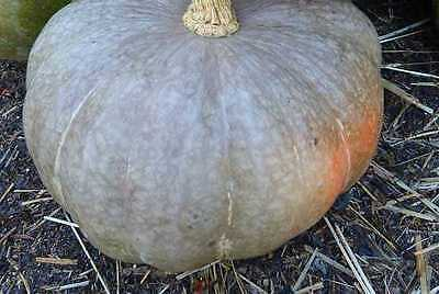 VEGETABLE  SQUASH STRAWBERRY CROWN  15 FINEST SEEDS