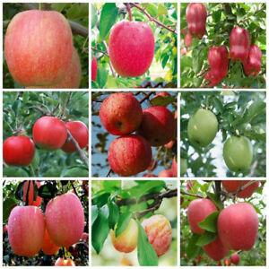 Plant-Fascinating-Garden-Bonsai-Fruit-Seeds-Apple-Yard-Living-Outdoor-Tree