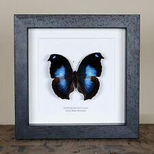 Great Blue Moonset Butterfly in Box Frame (Napeocles jucunda)