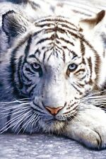 White Tiger Poster! Beauty Exotic Rare Nature Assam Bihar Never Hung New