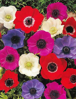 25 oder 50 Anemonen coronaria De Caen gemischt Blumenzwiebeln