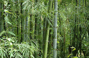 Bambusa bambos 15-1000 Seeds, Giant Indian Thorny Bamboo, Bambusa arundinacea