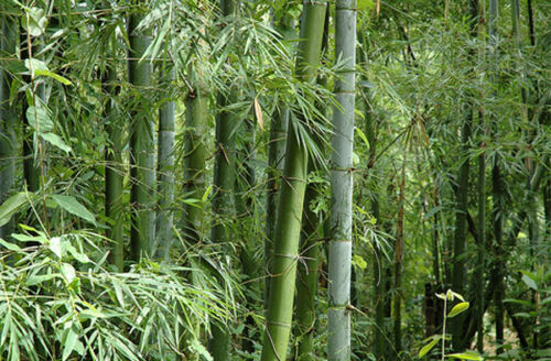 Bambusa bambos 15-1000 Seeds Bambusa arundinacea Giant Indian Thorny Bamboo