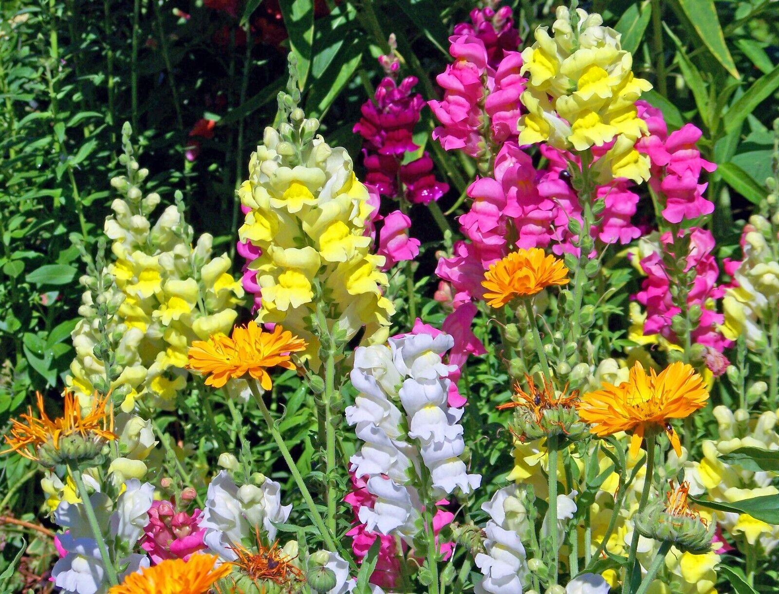 SNAPDRAGON Antirrhinum Mixed Colours 300+ Seeds Perennial Flower/Cottage Garden