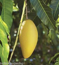 Live Mallika Mango Fruit Plant Healthy Live Plant