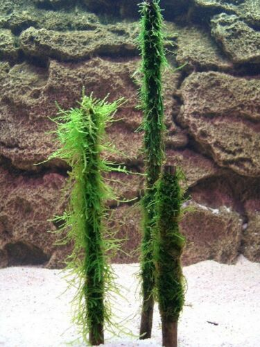 20cm JAVA MOSS ON BAMBOO live aquarium carpet plant bogwood fish fry hide