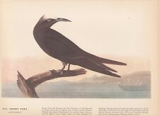 "1942 Vintage AUDUBON BIRDS #275 ""NODDY TERN"" ISLANDS Color Art Plate Lithograph"