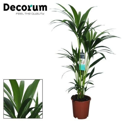 17cm pot Howea forsteriana Approx 90cm Height Kentia Palm Plant