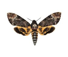 ONE REAL ACHERONTIA LACHESIS SILENCE OF THE LAMBS DEATHS HEAD MOTH WINGS CLOSED