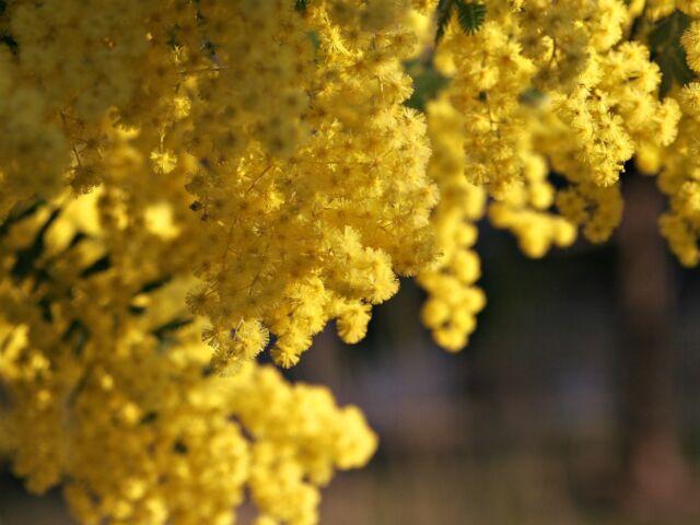 Acacia baileyana - Cootamundra Wattle - 25 Fresh Seeds