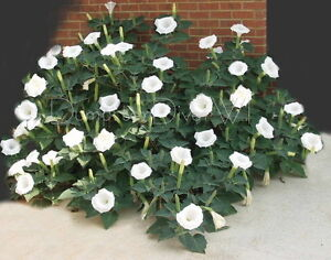 Datura angel trumped moon flower white thorn apple 100 seeds image is loading datura angel trumped moon flower white thorn apple mightylinksfo