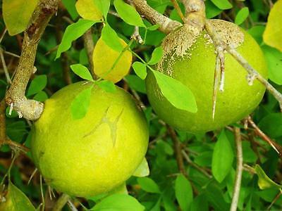 Bengalische Quitte Samen, Aegle Marmelos Samen, Madjobaum, Belbaum Hohe QualitäT Und Geringer Aufwand