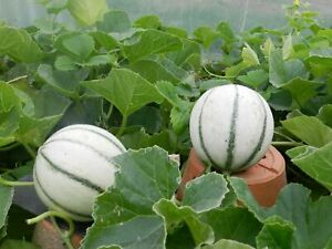 30 graines de melon charentais  bio de mon jardin en Bretagne permaculture 1
