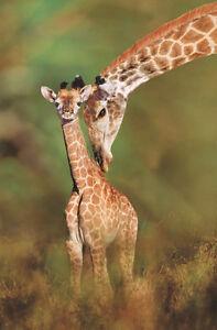 GIRAFFE ART PRINT Tender Love by Steve Bloom 36x24 Wildlife Safari Poster