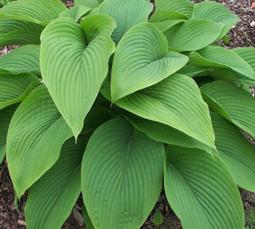 100//120 cm. HOSTA GREEN ACRES EX Vase 12x12 Root Naked Adult height