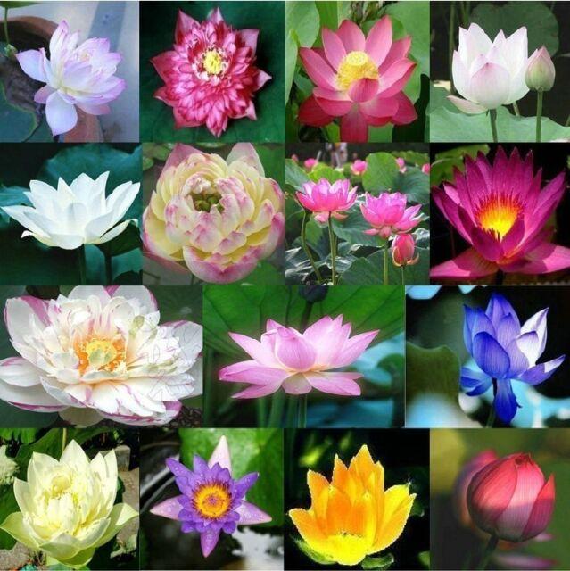 Post Australia Lotus Seeds Mixed Colours Blue Purple Pink Yellow