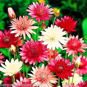 IMMORTELLE-DOUBLE-MIX-400-seeds-Xeranthemum-Annuum-EVERLASTING-FLOWER