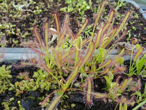Drosera capensis easy to grow carnivorous living plant