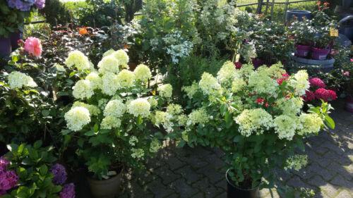 Hydrangea Limelight Rispenhortensie Hortensie limonengrüne große Blüten Top Qual