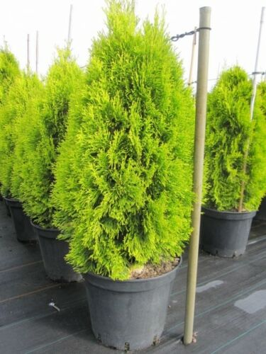 Thuja occidentalis Golden Smaragd R R - Lebensbaum Golden Smaragd