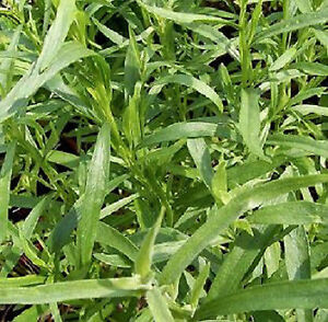 500-Graines-non-traitees-d-039-ESTRAGON-DE-RUSSIE-Artemisia-dracunculus-aromatique
