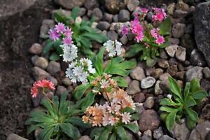 Cotyledon-Mixed-Varieties-20-Seeds-distinctive-forms-and-sizes