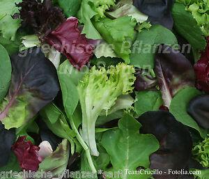 bunter schnitt salat schnittsalat salat 100 samen rot violett gr n zart ebay. Black Bedroom Furniture Sets. Home Design Ideas