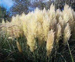 Ornamental Cortaderia Selloana Grass Seed 200 PCS Pink Pampas Grass Seeds T16