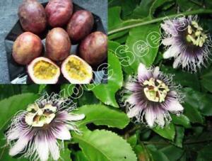 Passiflora-edulis-forma-edulis-Passionsblume-Passionflower-20-500-Samen