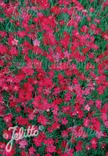 Dianthus deltoides /'leuchtfunk/' Heide-Garofano perenne rosso inverno 30x da212