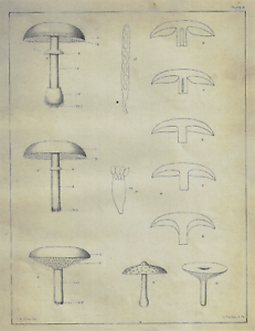 Details About Pecks Edible Fungi Line Drawing Of Mushrooms Chromolithograph 1895