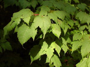 Bearded Maple Acer Barbinerve 50 Seeds Maple Bonsai Ebay