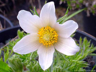 PASQUE FLOWER ALBA - Pulsatilla vulgaris - 80 seeds - PERENNIAL ALPINE FLOWER