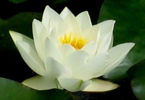 inverno duro Seerose seerosen stagno pianta laghetto piante Nymphaea /'virginalis/'