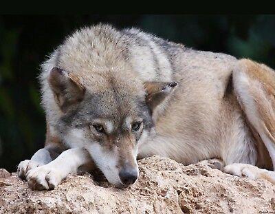 Wild Wolves Animal Dog Pack Nature Snow Gift #13159 Hunting Wolf Fridge Magnet