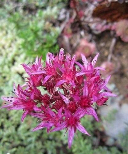 Sedum ♫ Graines ♫ Plante Décorative de Rocaille ♫ ♫ ORPIN /'Summer Glory Red/'