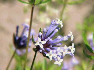 20-BLUE-SURPRISE-WOODRUFF-ASPERULA-Orientalis-Azura-Herb-Flower-Seeds-Comb-S-H