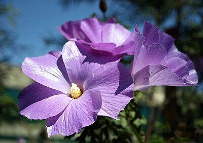 Lilac or Blue  Hibiscus (Alyogyne huegelii)  - 30 Seeds