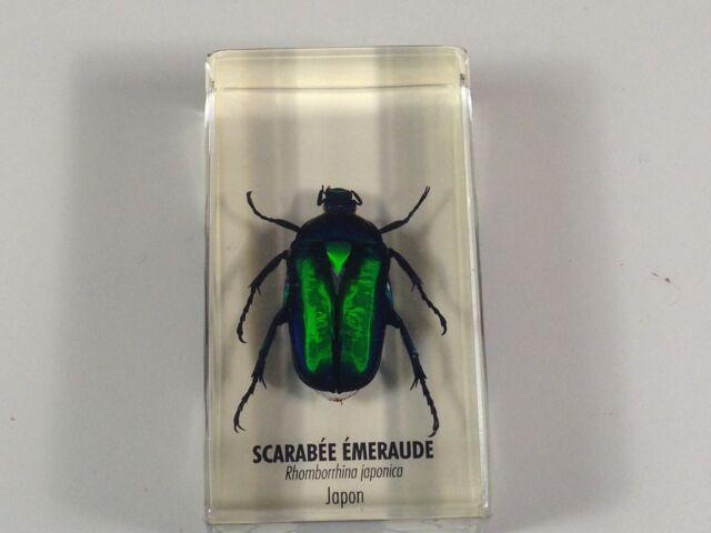 scarabée émeraude japon empaillée / trophée / taxidermie