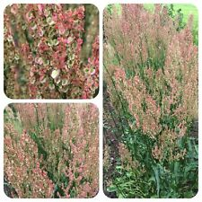 Sauerampfer Rumex acetosa Heilpflanze Gewürz Teepflanze