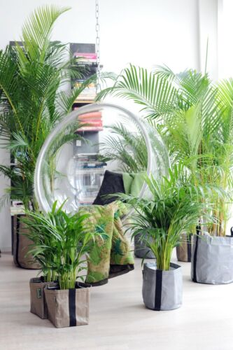 2 x Areca Golden Cane Palm Trees  Butterfly Palm Dypsis Lutescens 100cm 3ft+sale