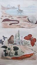 Gravure en couleur du XIXè s. Arenicole Argonaute Argynne Arion. Entomologie