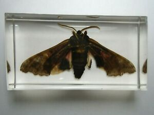 POPLAR-SPHINX-PACHYSPHINX-OCCIDENTALIS-Real-moth-embedded-in-casting-resin