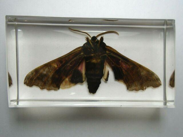 POPLAR SPHINX PACHYSPHINX OCCIDENTALIS. Real moth embedded in casting resin.