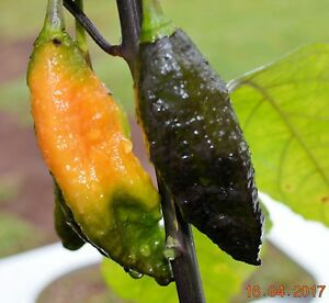 Black-Panther-ORANGE-Chilli-10-seeds-VERY-RARE