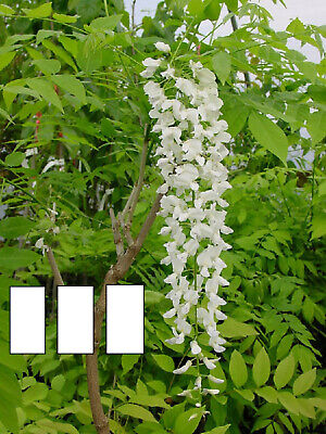 pot GRAFTED white wisteria shipped at 5ft inc 5ft Wisteria alba