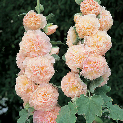 30+ Salmon Double Hollyhock Flower Seeds / Alcea / Perennial
