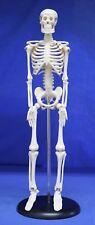 Childcraft Education Human Skeleton Anatomy Mini Model On Base 1006338